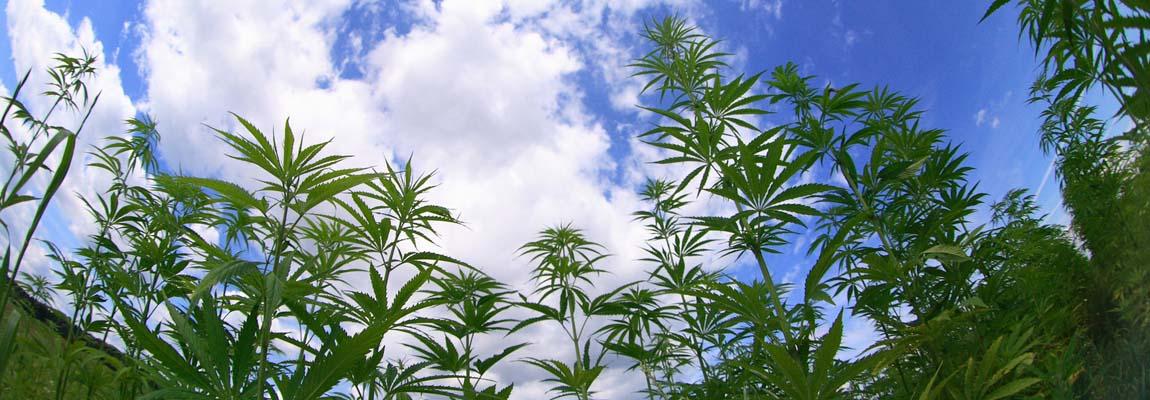 Medical Cannabis Field